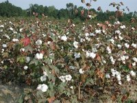 Mature Cotton almost ready for picking