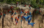 Macaw clay lick tours